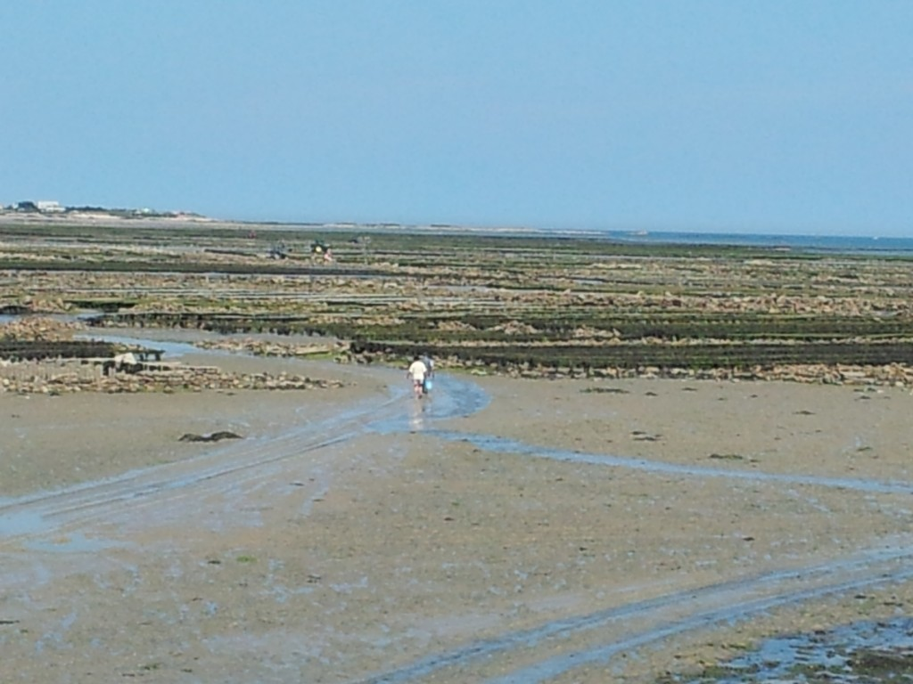 Oyster parks at low tide